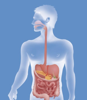 Digestive System Facts For Kids From Kidsworldfun