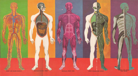 facts about body systems – onehotbitch, Muscles
