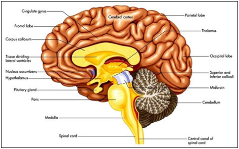 What Part Of The Brain Stores Memory >> Fun Facts About the Brain And The Human Body For Kids From KidsWorldFun