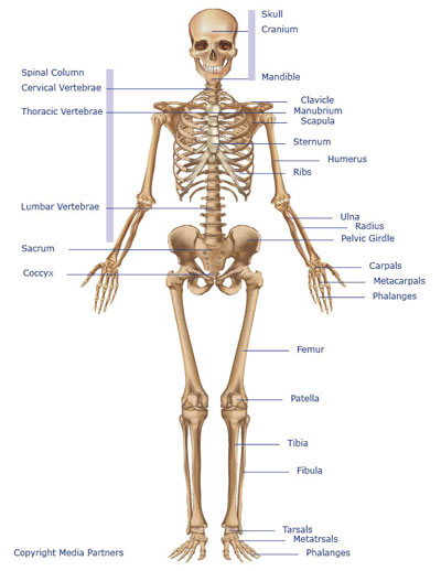 Fun facts of the human body and the skeletal system from kidsworldfun skeletal system ccuart Image collections