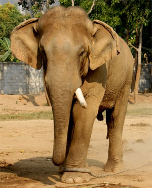 Elephant tied with rope