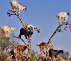Funny goats on the tree