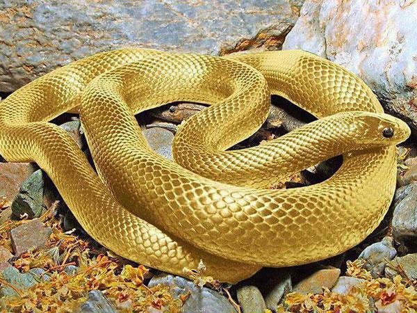 Golden Snake Photo