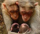 Monkey family with cute babies