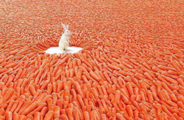 Rabit in Carrots