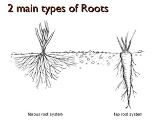2 main roots