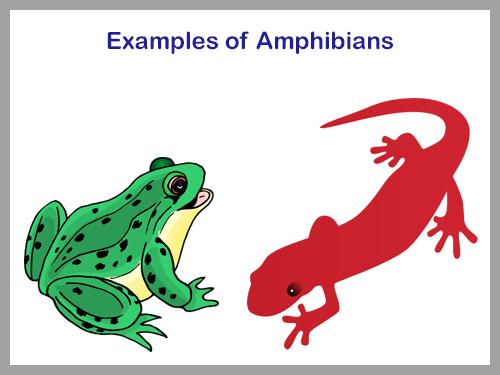 ANIMAL KINGDOM  AMPHIBIANS  EXAMPLES OF AMPHIBIANS 2