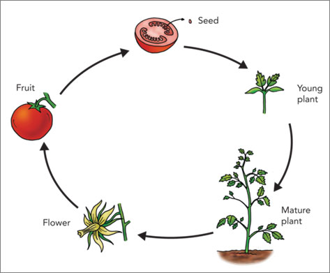 life cycle of a tomato plant