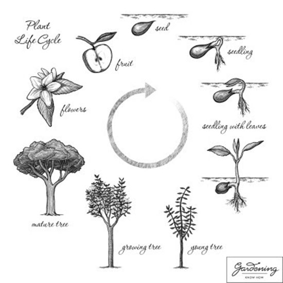 Living things - Plant life cycle