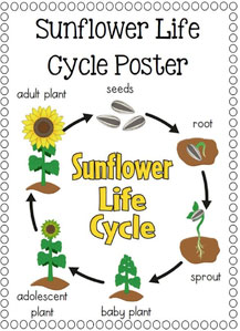life cycle of a sunflower plant