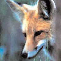 Short Stories - The Fox who got cought in the tree trunk