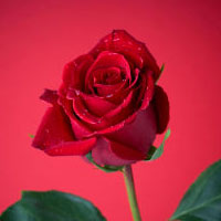 Short Stories - Proud Red Rose